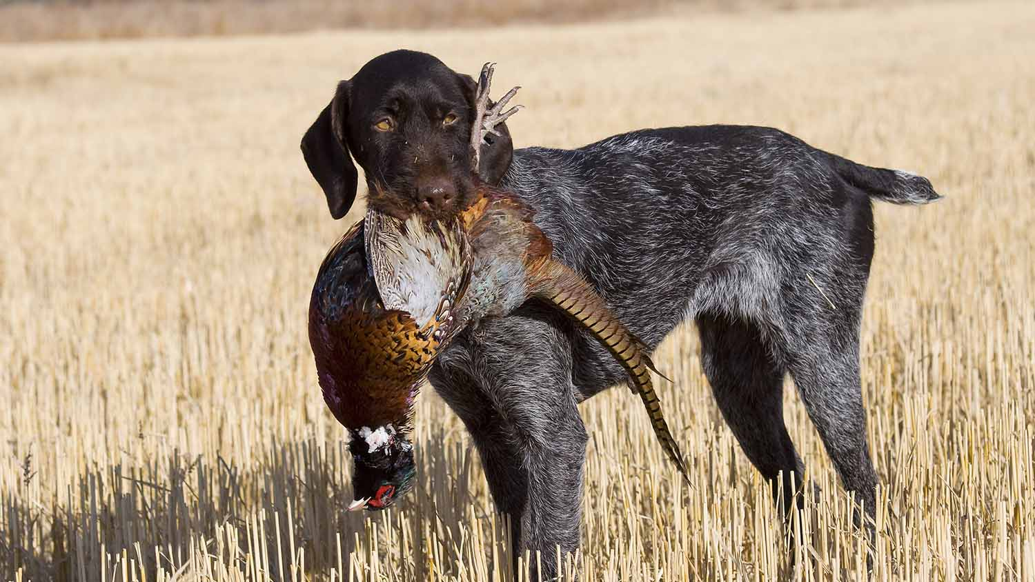 Upland Hunting with Exhibition Shooter Tim Bradley
