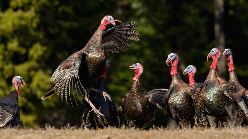Seven Things You Didn't Know About Turkeys