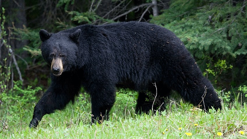 Tips and Tactics for a DIY Western Spring Black Bear Hunt
