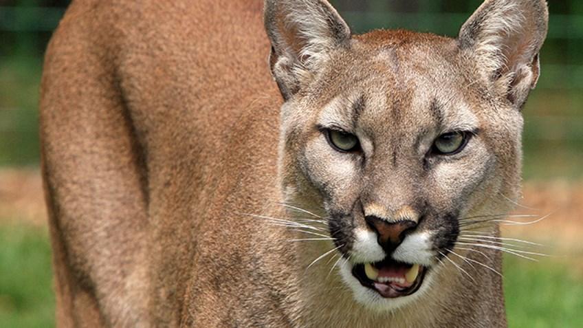 Nebraska Approves Mountain Lion Hunting Season