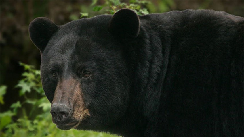 New Jersey Governor Bans Bear Hunting on State-Owned Lands