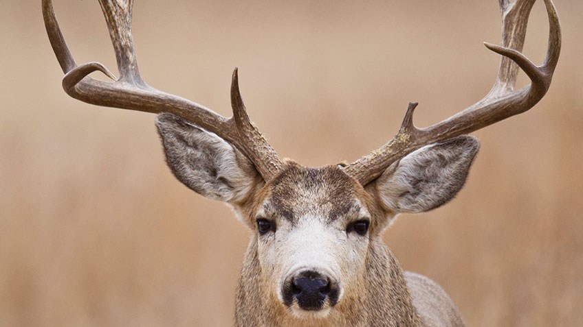 How and When to Call Mule Deer