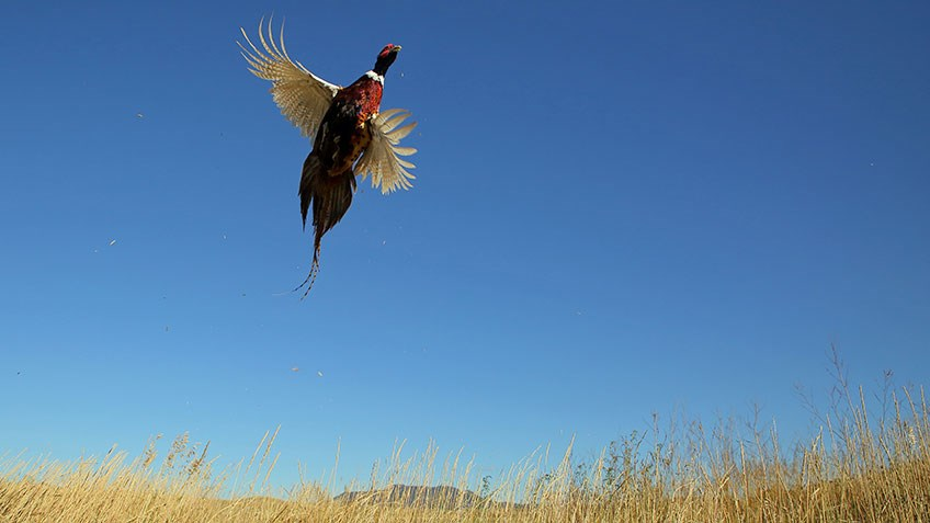 Tips and Tactics for Solo Pheasant Hunting