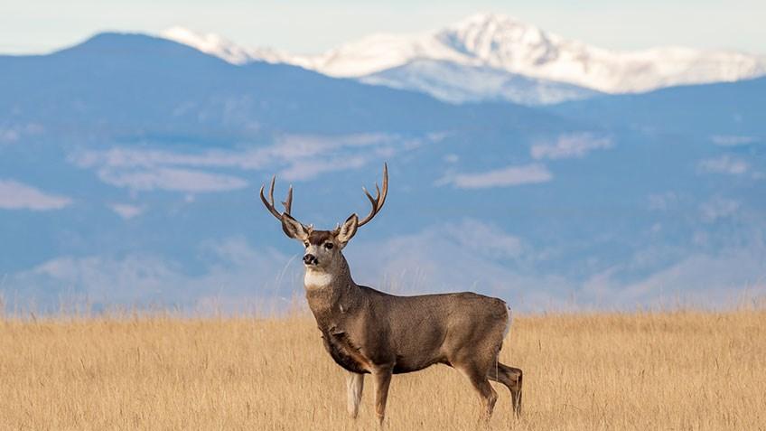 6 Tips for Hunting Public-Land Mule Deer